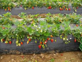 coltivazione-fragole-terreno