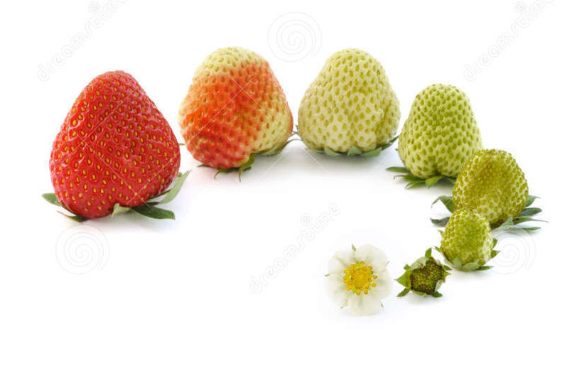 http://www.dreamstime.com/stock-images-strawberry-growth-isolated-white-image12847194